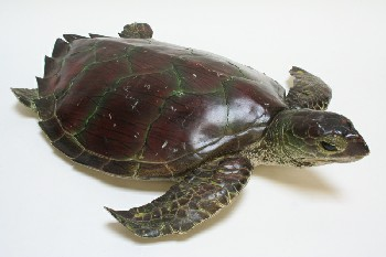 Taxidermy, Reptile, SEA TURTLE W/GREEN TINTS, PLASTIC, BROWN