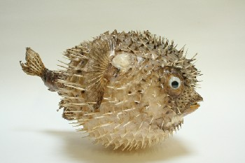 Taxidermy, Fish, (REAL) PUFFER FISH W/BLACK FLECKS & 1 FAKE EYE, FRAGILE, ANIMAL SKIN, GREY