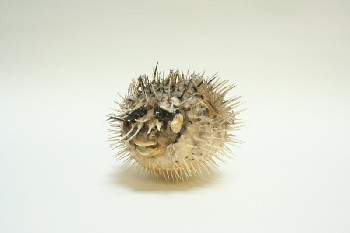 Taxidermy, Fish, PUFFER FISH (REAL) W/BLACK FLECKS,NO EYES,NO TAIL, FRAGILE, ANIMAL SKIN, GREY