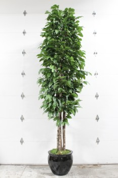 Plant, Fake, 12FT XL,FAKE TREE, BLACK PLANTER - *Must Be Returned With All Branches*, PLASTIC, GREEN