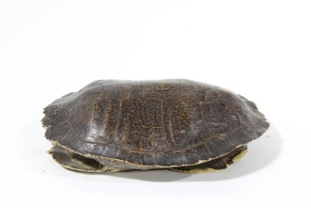 Taxidermy, Reptile, REAL TURTLE SHELL, NO TURTLE/EMPTY, FRAGILE , ANIMAL SKIN, BROWN