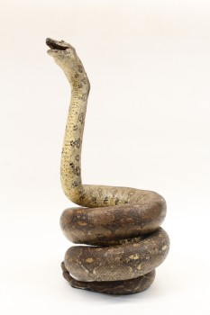 Taxidermy, Reptile, REAL,SNAKE,COBRA,COILED,MOUTH OPEN, FRAGILE, SNAKESKIN, BROWN