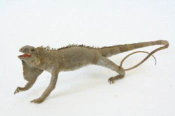 Taxidermy, Reptile, LIZARD (REAL), FRAGILE, ANIMAL SKIN, NATURAL