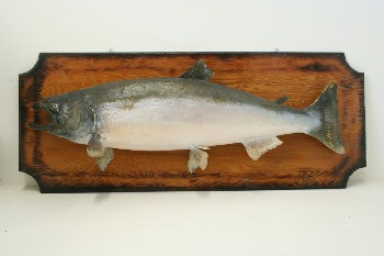Taxidermy, Fish, LARGE MOUNTED (REAL) SALMON ON RECTANGULAR WOOD PLAQUE, FRAGILE, ANIMAL SKIN, BROWN