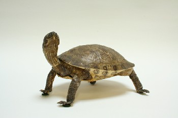 Taxidermy, Reptile, TURTLE,REAL,FRAGILE , ANIMAL SKIN, BROWN