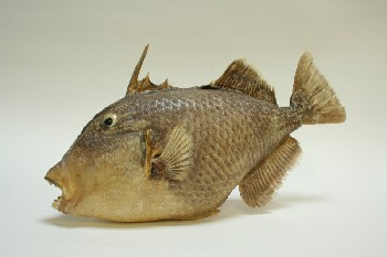 Taxidermy, Fish, (REAL) PARROT FISH,OPEN MOUTHED W/TEETH SHOWING,1 FAKE EYE, FRAGILE, ANIMAL SKIN, BEIGE