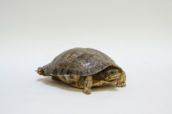 Taxidermy, Reptile, TURTLE,REAL,HEAD IN SHELL, FRAGILE, ANIMAL SKIN, BROWN