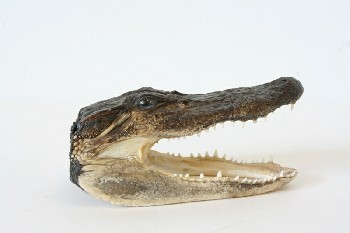 Taxidermy, Reptile, (REAL) SMALL ALLIGATOR/CROCODILE (OR CAIMAN?) HEAD W/OPEN JAWS, FRAGILE, ANIMAL SKIN, BROWN