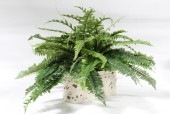 Plant, Fake, SMALL FAKE BOSTON FERN IN DISTRESSED BEIGE METAL PLANTER , PLASTIC, GREEN